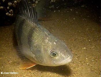 Itämeren yleisimmät kalat